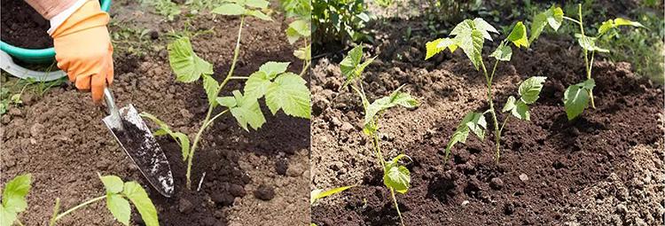 Подготовка малины к зиме: фото, видео, что необходимо малине осенью