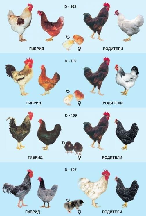 Куры породы доминант (59 фото): описание петухов и цыплят чешской породы. когда несушки начинают нестись? какие виды больше подходят для разведения дома? отзывы владельцев