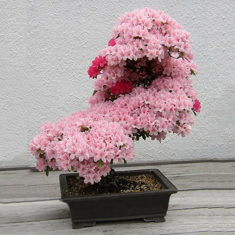 Мелкопильчатая вишня: 4 формы и 8 сортовых разновидностей сакуры | огородники