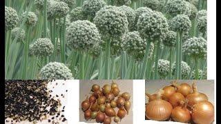 Посадка лука под зиму: как правильно посадить осенью, отзывы о методе