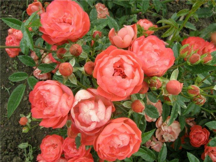 Фоторепортаж любимые розы и немного стихов о них