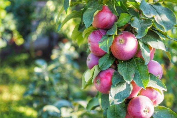 Посадка яблони осенью в средней полосе: сроки посадки, когда лучше сажать, в каком месяце, при какой температуре – сад и огород своими руками