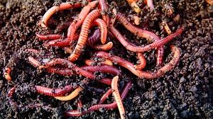 купить червей для разведения