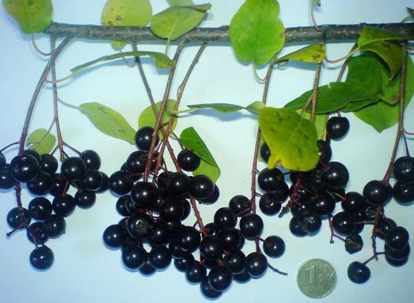 Черемуха: выращивание, посадка и уход, способы размножения, виды