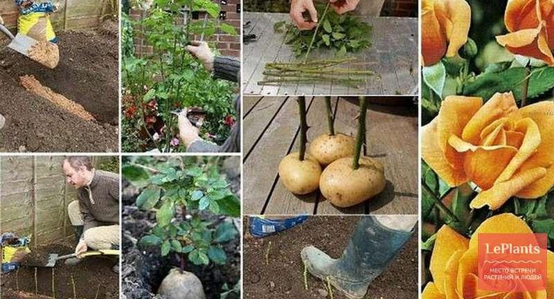 Как вырастить розу из черенков в домашних условиях в картошке: можно ли посадить в горшке, что нужно для того, чтобы укоренить цветок, каков дальнейший уход?дача эксперт
