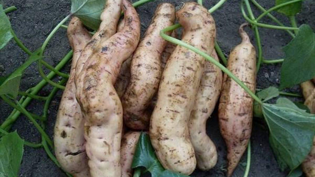 Сладкий картофель батат: выращивание, сорта, полезные свойства