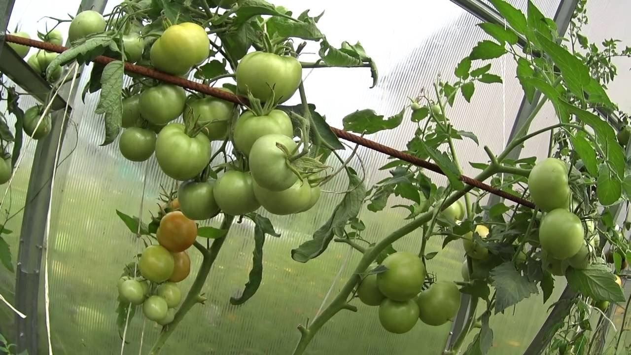 Как бороться с фитофторой на помидорах?