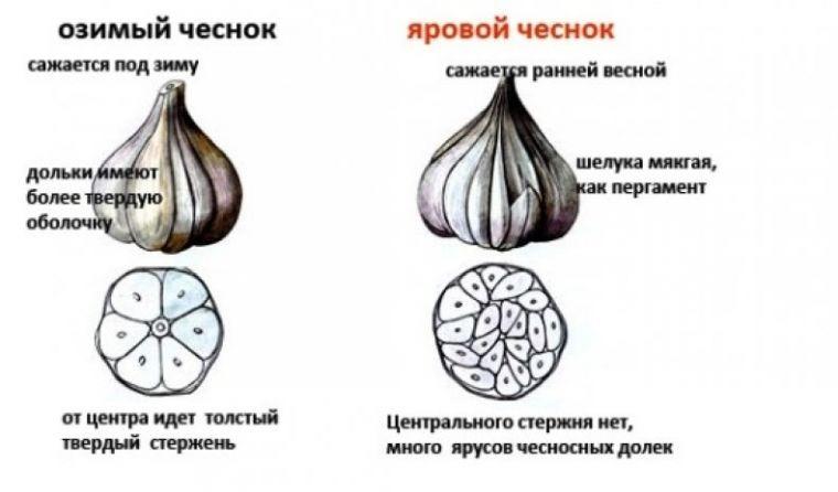 Посадка озимого чеснока в 2020 году: 9 советов от экспертов владимирского филиала россельхозцентра — agroxxi
