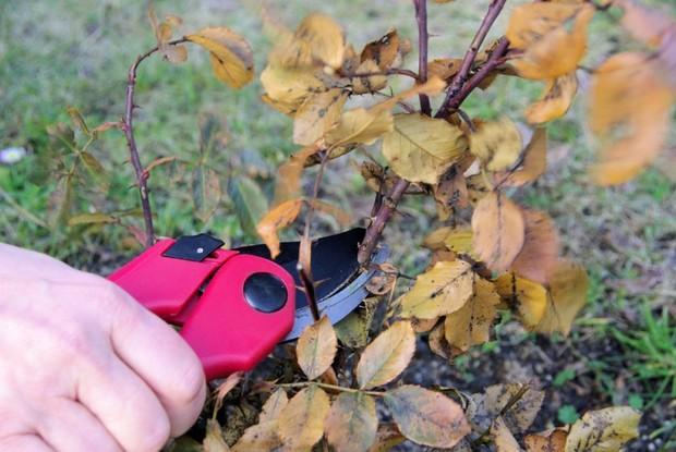 Как подготовить розы к зиме: обработки, обрезка, подкормка, полив и укрытие