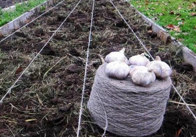 Сажаем чеснок в октябре на зиму и весной: все о правильной посадке