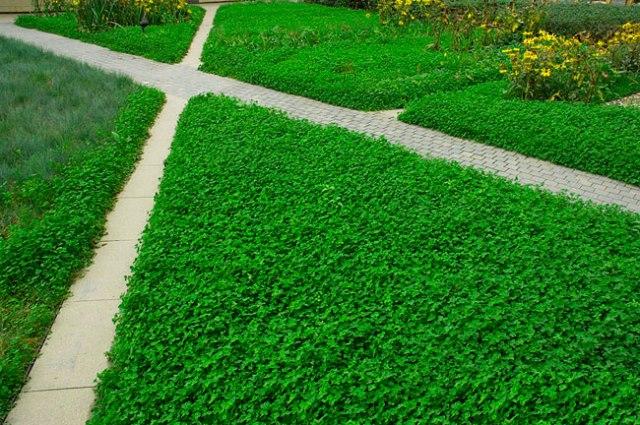 клевер газонный