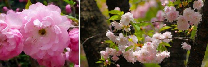 Вишня мелкопильчатая: формы, виды и сорта японской красавицы