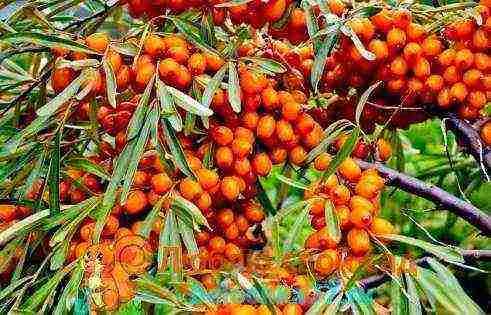 Посадка саженцев облепихи весной и осенью: уход и выращивание в открытом грунте