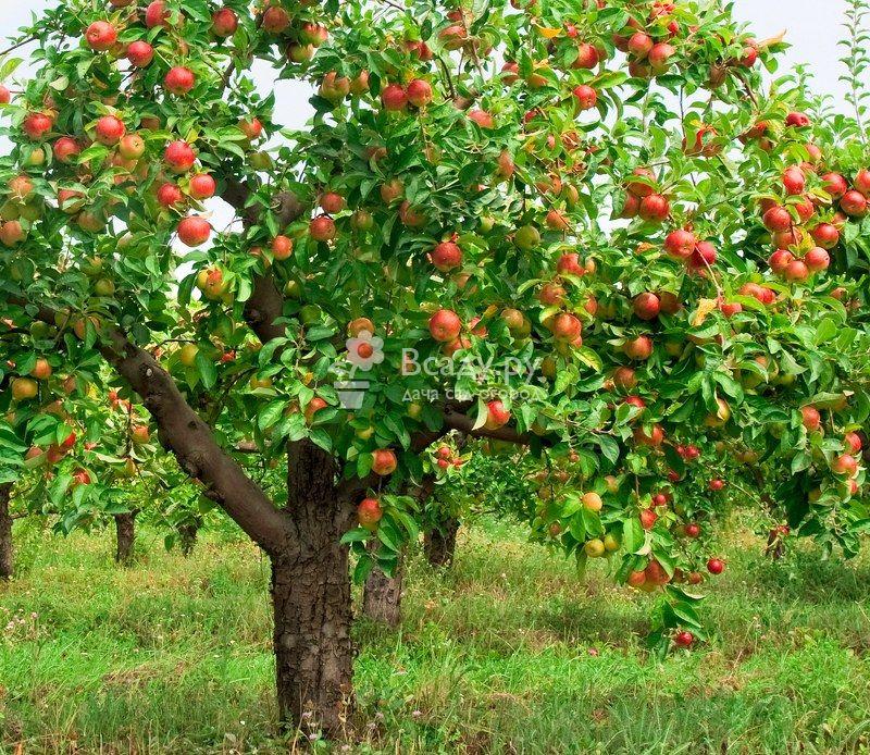 Яблоня лобо – описание сорта, фото, отзывы