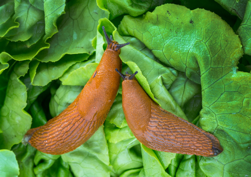 Как избавиться от слизней и защитить урожай от вредителей