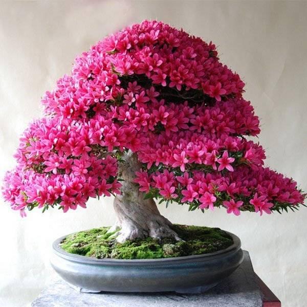 Японская вишня сакура, фото, характеристика и описание. посадка и уход