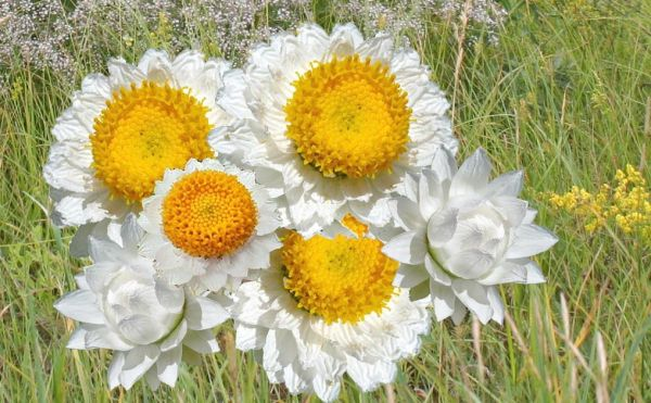 Сухоцветы. фото и видео