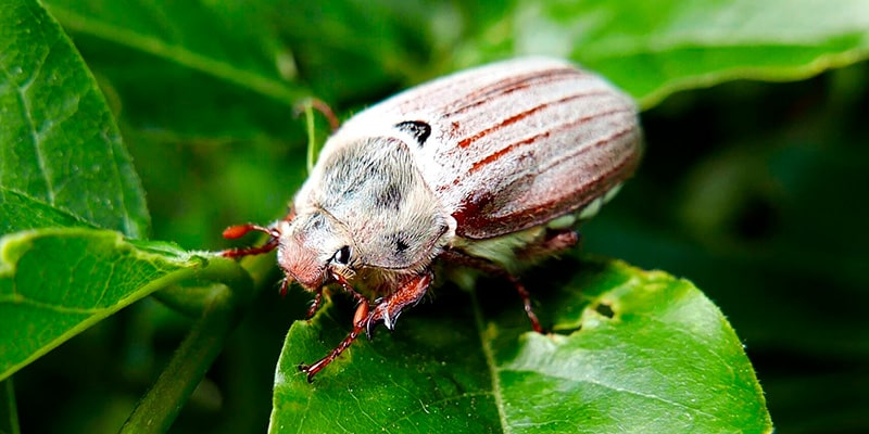 личинка майского