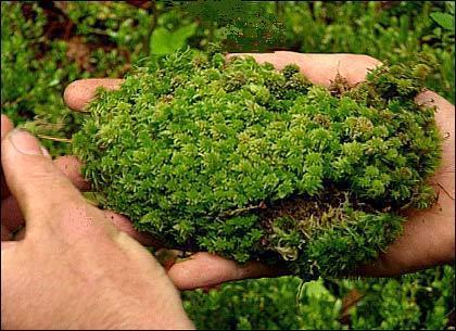 Лишайник и мох на деревьях и земле: почему и как надо с этим бороться