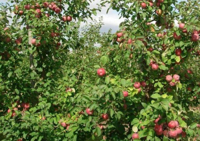 Яблоня лобо: описание и фото сорта, посадка и уход, отзывы