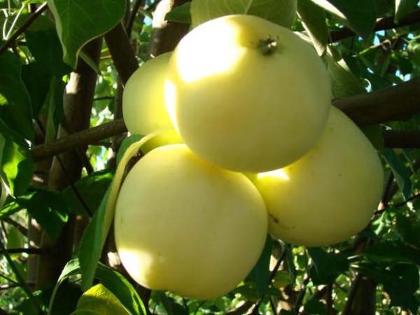 Сорт яблок яндыковское: описание, фото, отзывы
