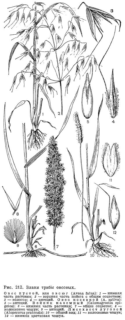 злаки растения