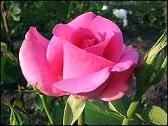 Размножение  плетистых роз: различные способы и советы