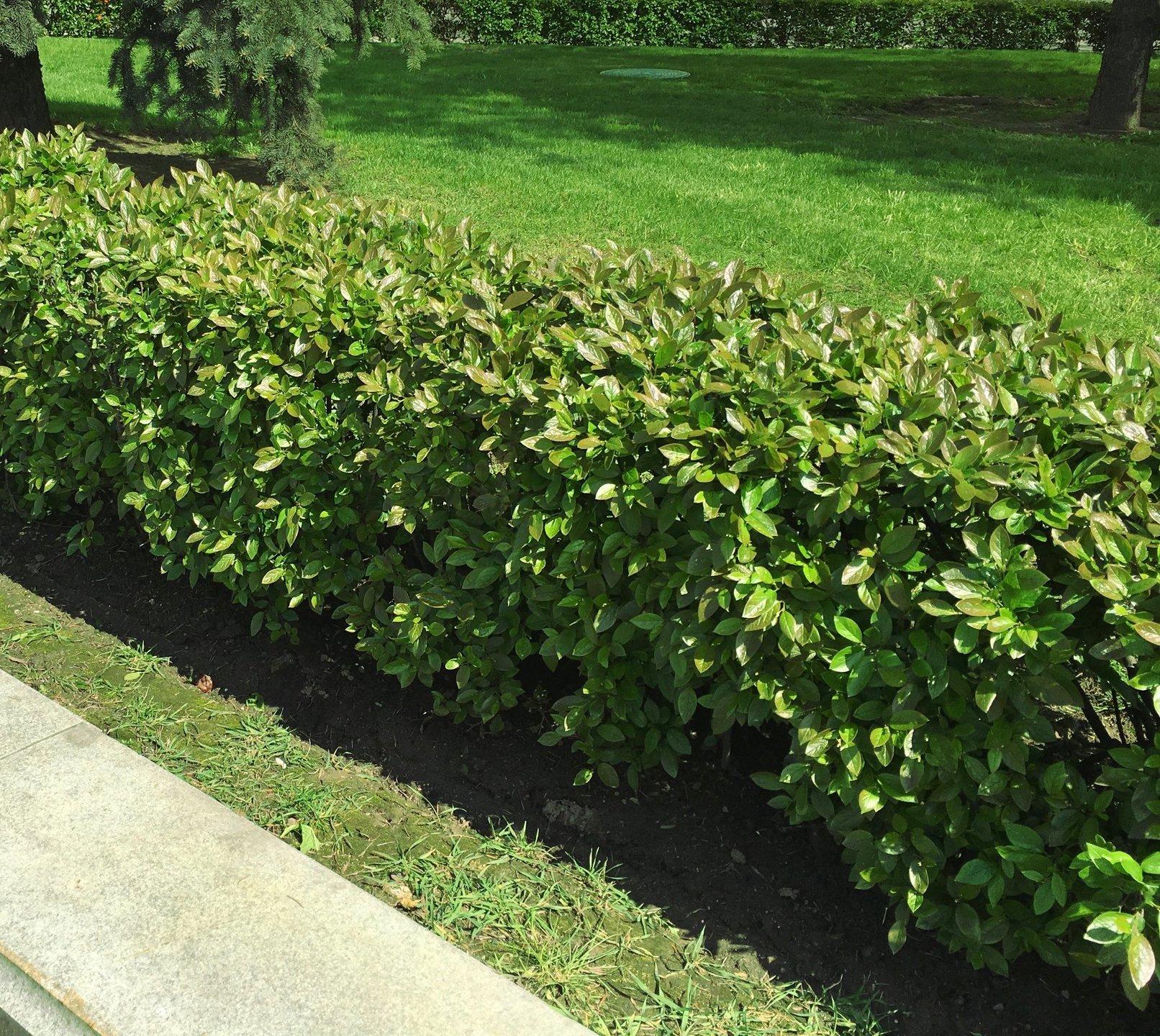 кизильник черноплодный фото