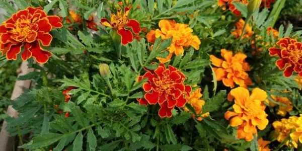Цветы на клумбу: фото и названия многолетних и однолетних низкорослых, среднерослых и высоких растений
