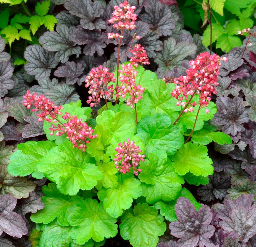 гейхера фото цветов на клумбе