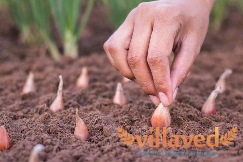 Как посадить правильно лук в зиму подготовка грядки когда сажать