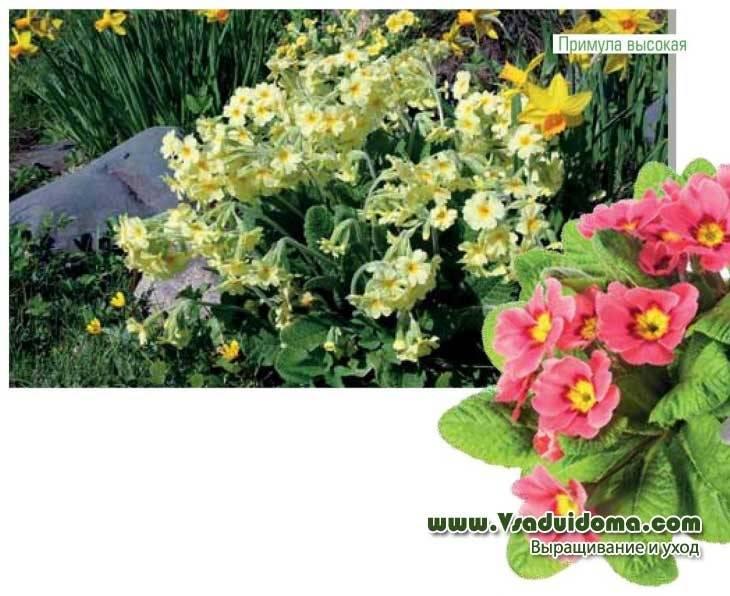Примула многолетняя садовая: посадка и уход, особенности растения