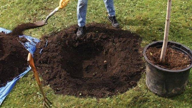 Как правильно посадить яблоню осенью: подготовка, процесс и уход после