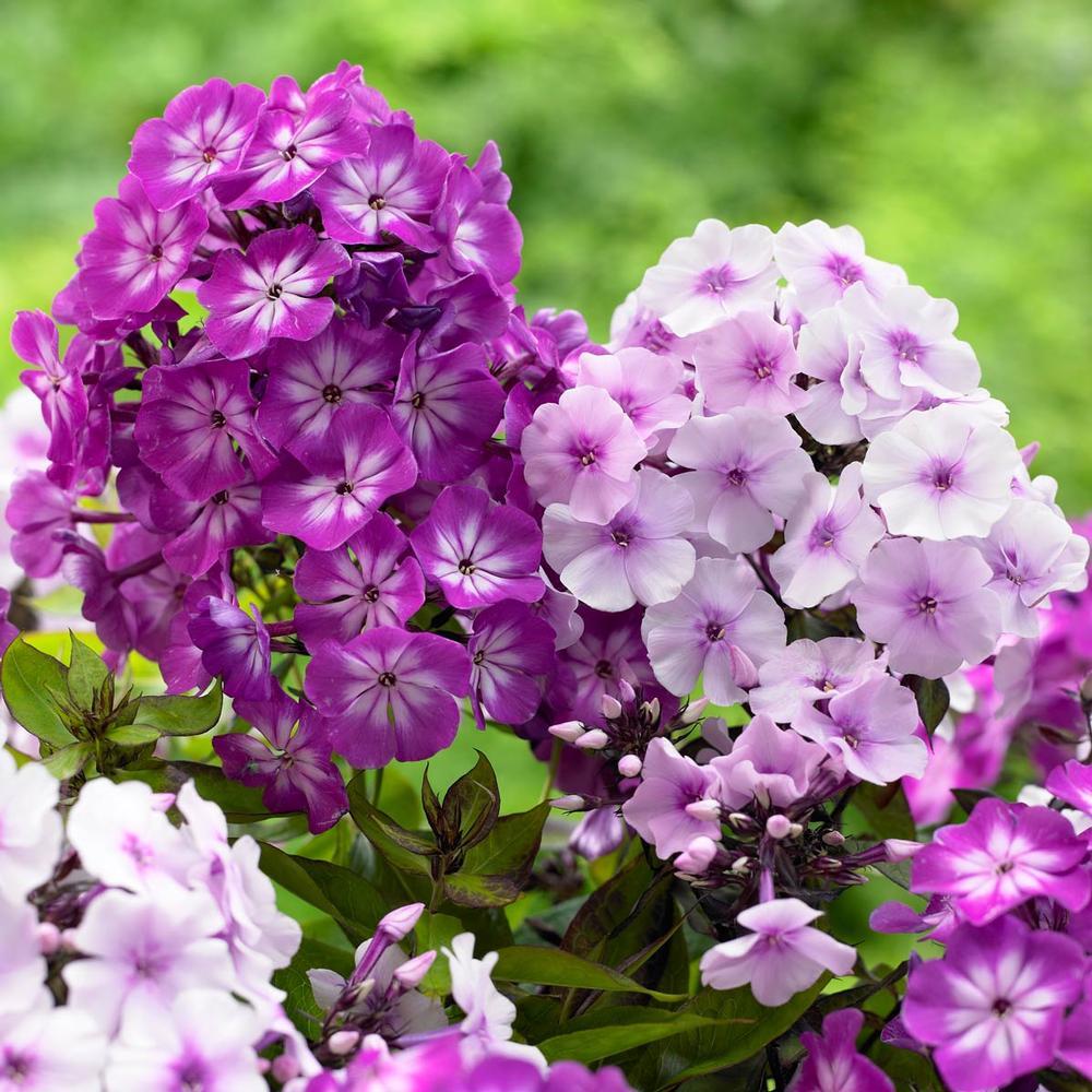 флоксы цветы