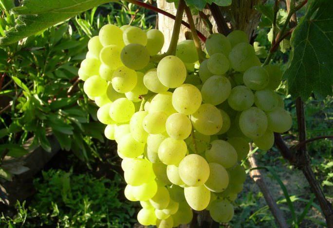 виноградник красохиной прайс