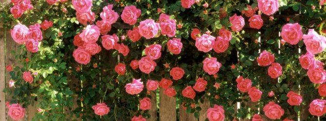 Как обрезать розы на зиму: основные правила для садоводов
