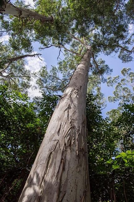 деревья которые быстро растут