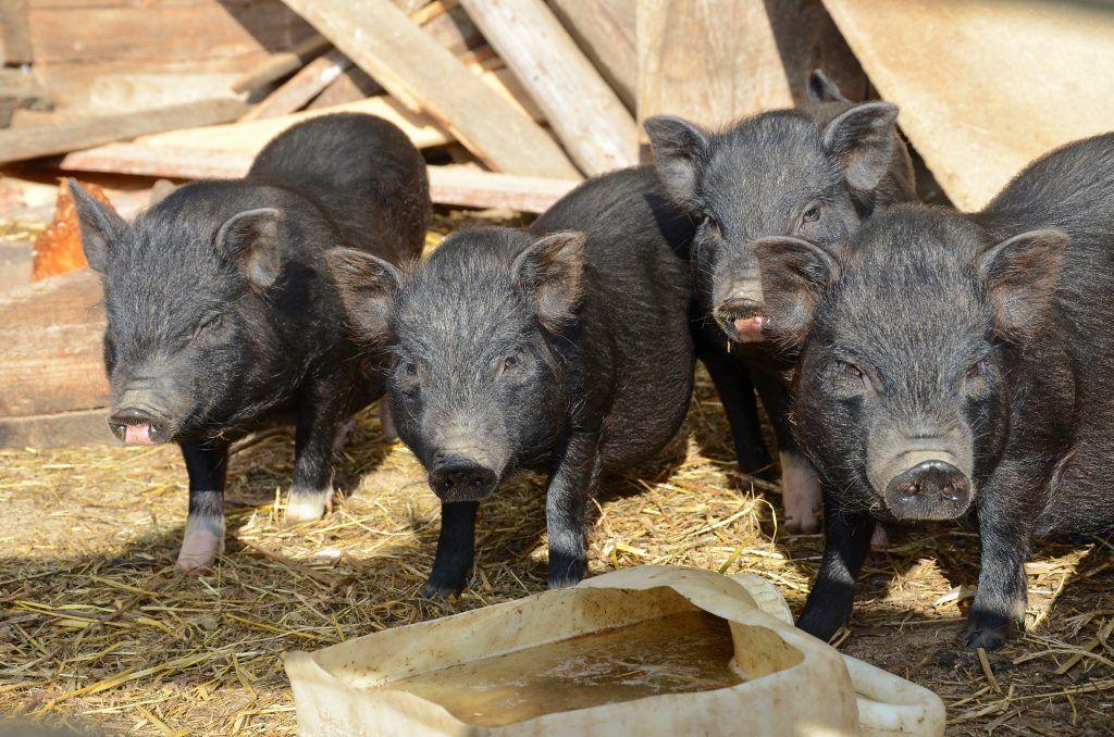 Отзывы владельцев о вьетнамских вислобрюхих свиньях отзывы владельцев о вьетнамских вислобрюхих свиньях