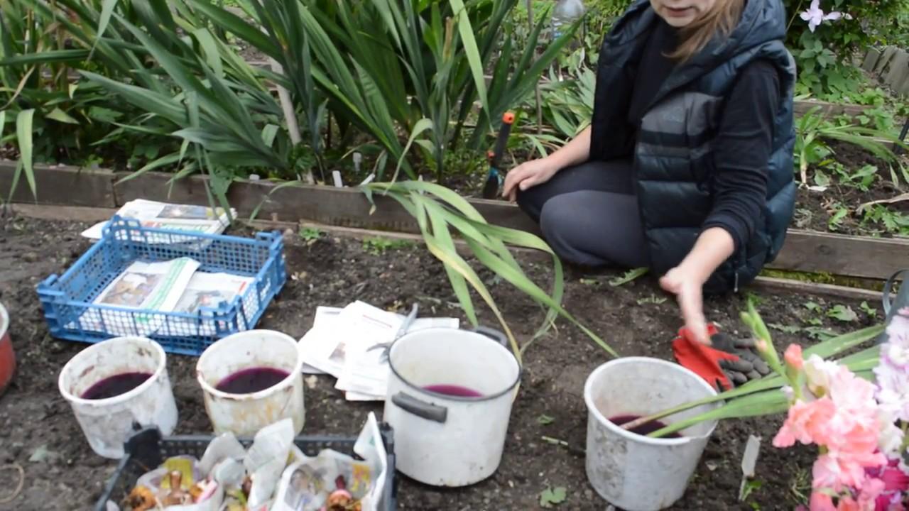 Как выкапывать гладиолусы на зиму