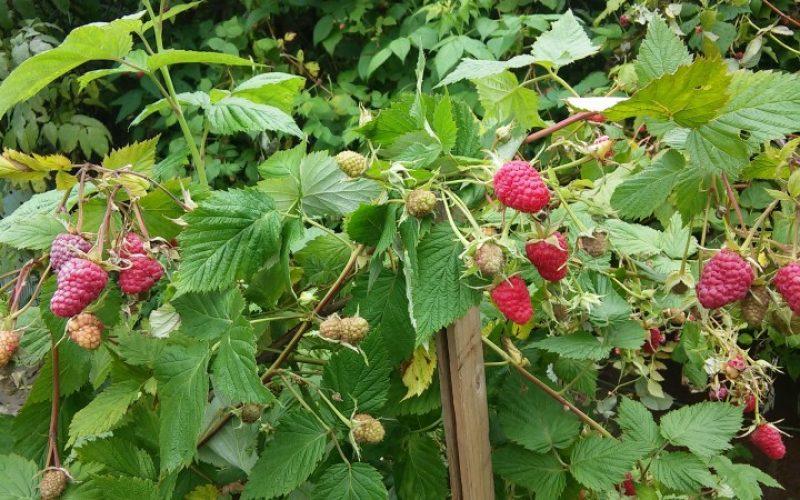Подкормка малины осенью: различные варианты удобрений для успешной зимовки и обильного урожая