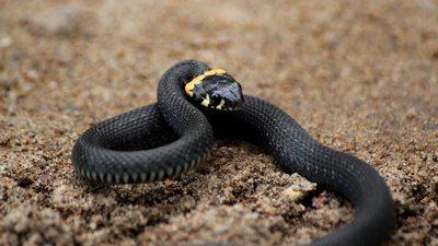 Змеи: как отличить гадюку от ужа и что делать при укусе
