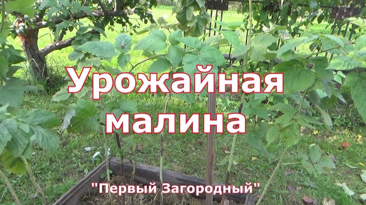 Чем подкормить малину осенью, чтобы следующим летом было много ягод