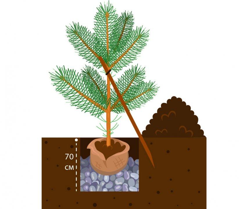 Выращивание хвойных деревьев на участке