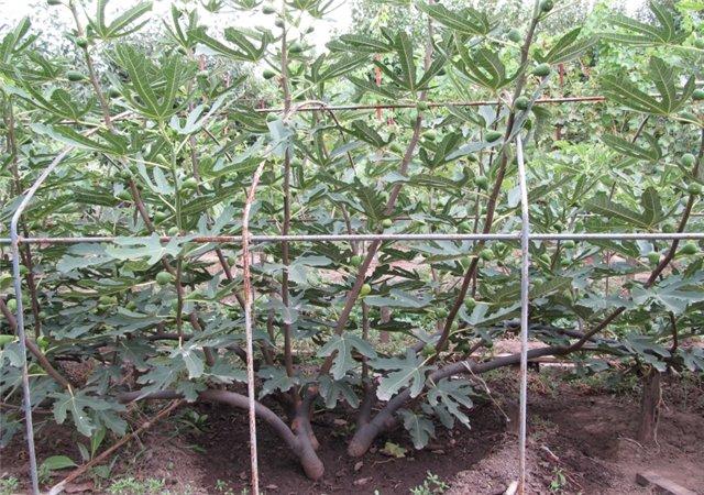 Инжир в средней полосе — выращиваем в открытом грунте и в контейнере