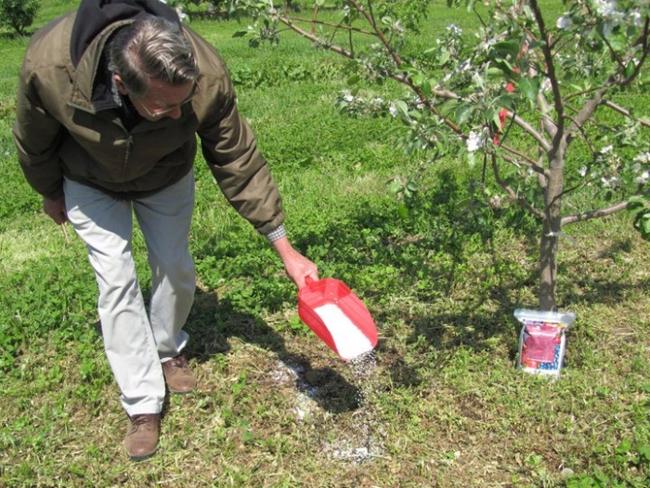 Выращивание яблонь: саженцы, из семян, уход, график подкормок