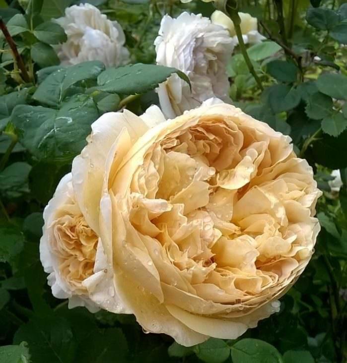 О розе poesie: описание и характеристики, выращивание сорта розы флорибунда