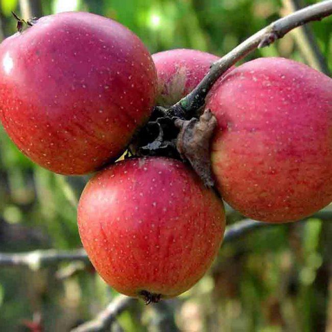 Коштеля сорт яблок