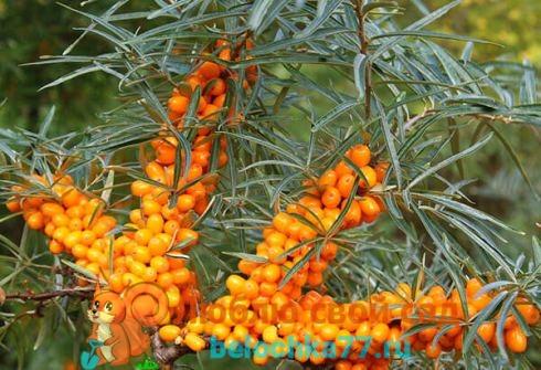Выращивание облепихи - посадка, уход, размножение, сбор ягод