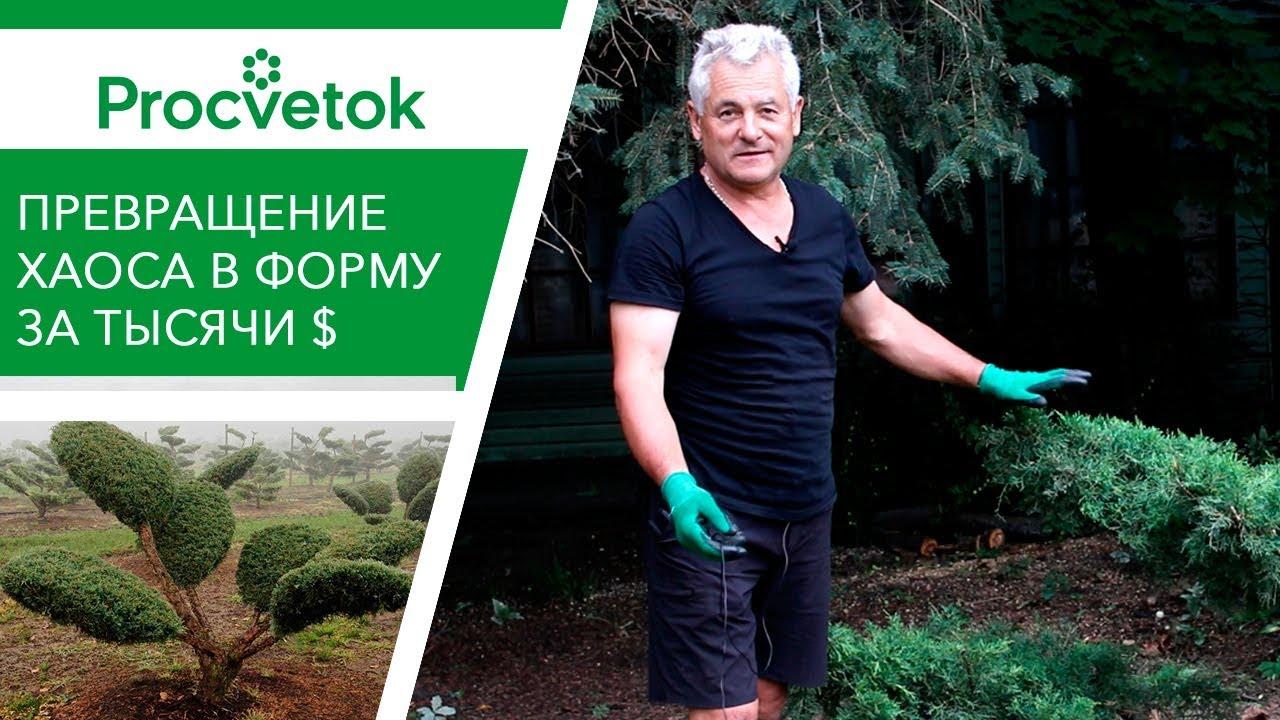 Ниваки из можжевельника казацкого — сад и огород