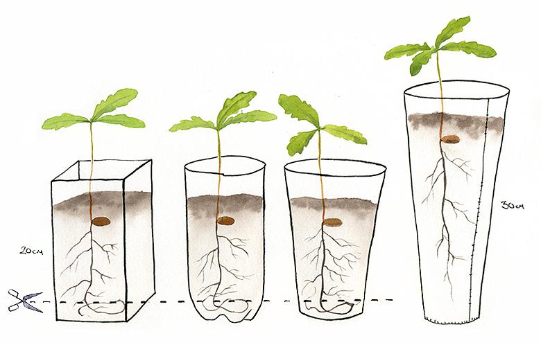 как вырастить желудь